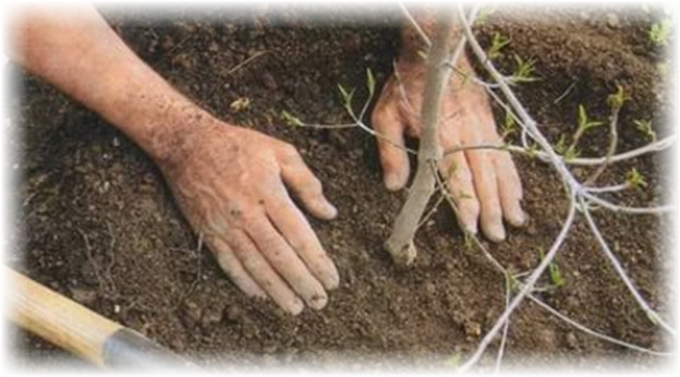 img435-610x848 Жимс жимсгэнийн 191 мянган ширхэг суулгацыг зээлээр олгож байна
