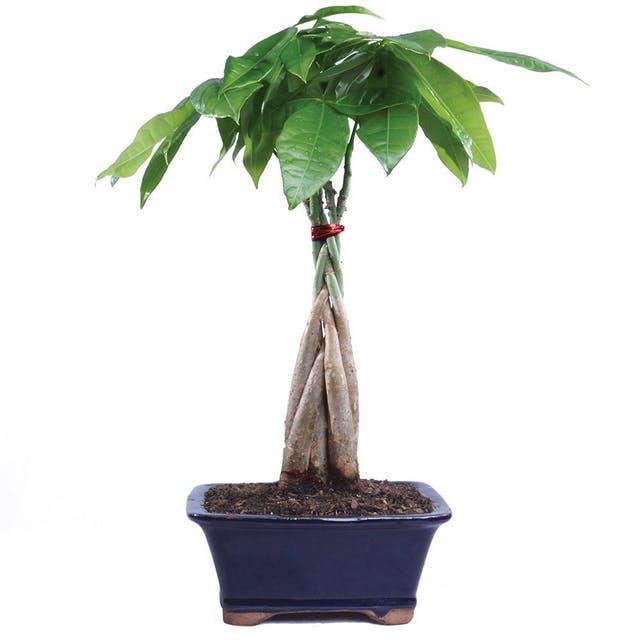 money-tree Тасалгааны агаар цэвэршүүлэх гурван ургамал