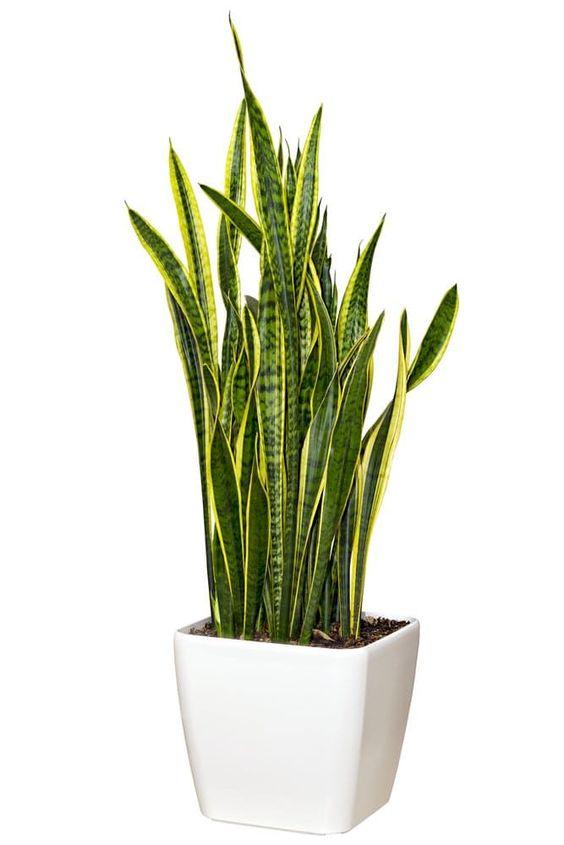 mother-in-law-tongue Тасалгааны агаар цэвэршүүлэх гурван ургамал