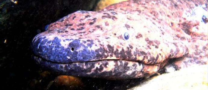 salamander Дэлхийн хамгийн том хоёр нутагтан устах аюулд иржээ