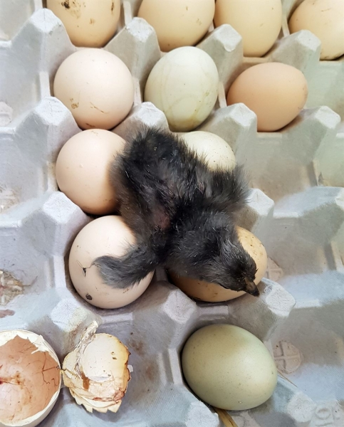 155429 Тагтан дээр хураасан өндөг хагарч дэгдээхэй болжээ