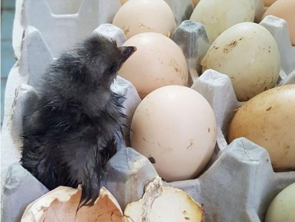 155431 Тагтан дээр хураасан өндөг хагарч дэгдээхэй болжээ