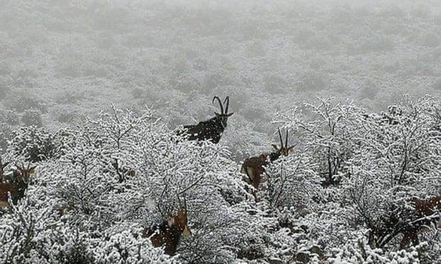 640 Өмнөд Африкт цас орж, амьтдад шинэ мэдрэмж төрүүлэв