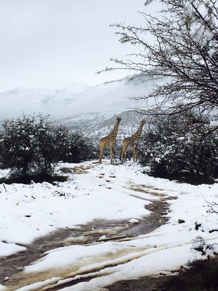 DmpbWnfXoAAbNds Өмнөд Африкт цас орж, амьтдад шинэ мэдрэмж төрүүлэв
