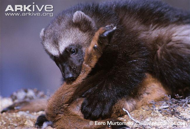 """European-wolverine-feeding-on-young-reindeer-carcass """"Дээрэмчин"""" хочит Тайгын мангас"""