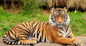 royal-bengal-tiger-desibantu-300x160 Хятадын тухай таныг гайхашруулж мэдэх 20 баримт