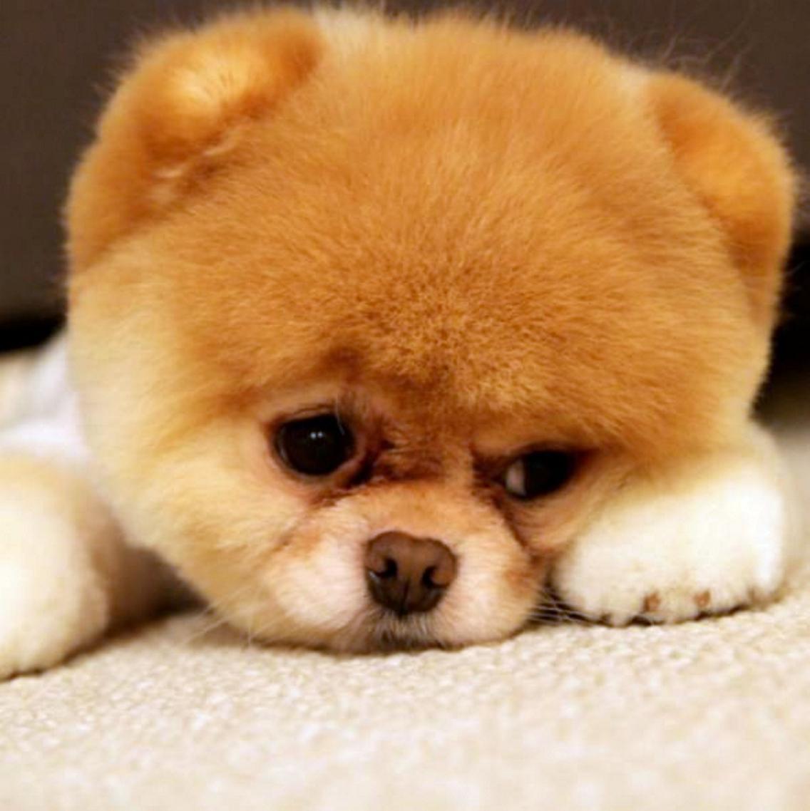 """3-15 Дэлхийн хамгийн өхөөрдөм нохой """"Facebook""""-т 16 сая дагагчтай"""