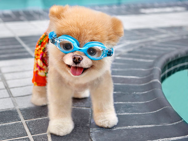 """boo Дэлхийн хамгийн өхөөрдөм нохой """"Facebook""""-т 16 сая дагагчтай"""