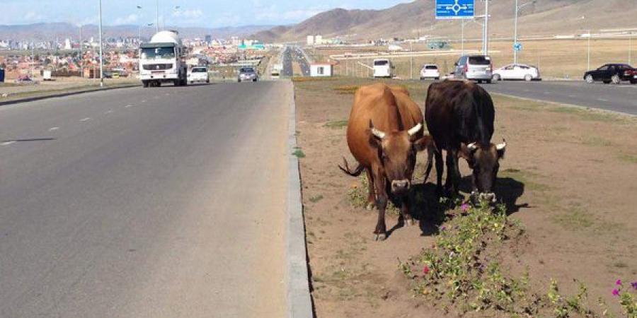 1475542834_olloo_mn_1475542817_nur Үхрээ хогоор хооллодог Монголын эмгэнэл