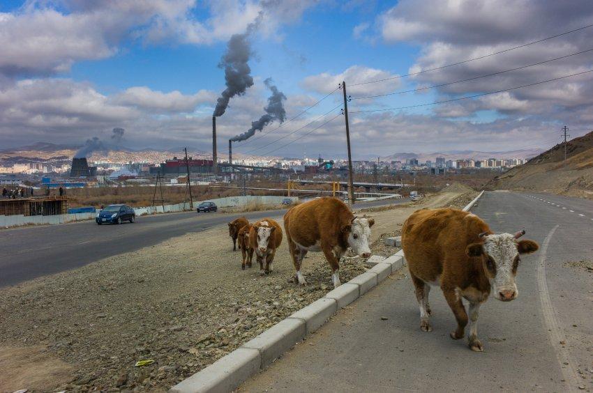 3_150302 Үхрээ хогоор хооллодог Монголын эмгэнэл