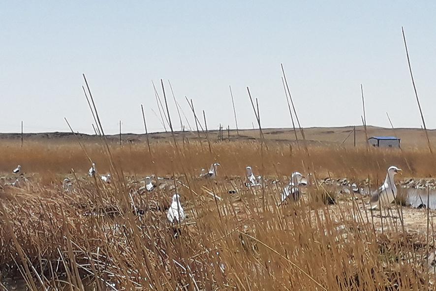 Dundgovi_1905241 Арван нэгэн зүйлийн 523 ус намгийн шувуу тоологджээ
