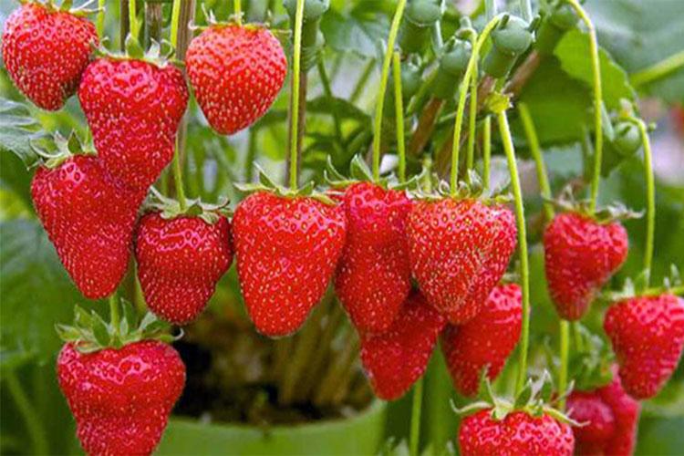 guzeelzgene3 Гүзээлзгэнэ жимс дархлаа сайжруулдаг